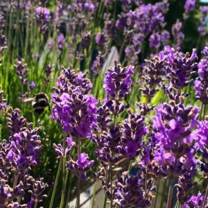 Lavender a-buzz